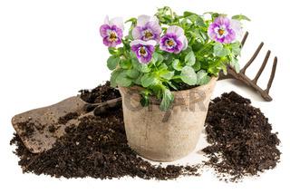 Stiefmütterchen einpflanzen - Freisteller