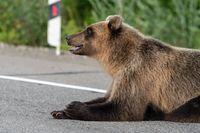 Brown bear lies on roadside of asphalt road