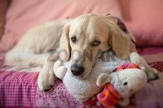 Dog lying on the bed with his head resting on a plush cushion - golden retriever