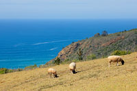 Sheep grazing on coastal pasture of a rural farm