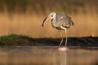 Sunlit grey heron holding a fish in a beak ready to eat it in a pond