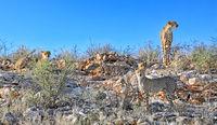 Cheetahs, Kgalagadi Transfrontier National Park, South Africa, (Acinonyx jubatus)