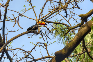Toucan perched among tree branches