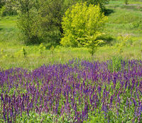 Summer blossoming wild purple Salvia  flowers (known as meadow clary or meadow sage) background