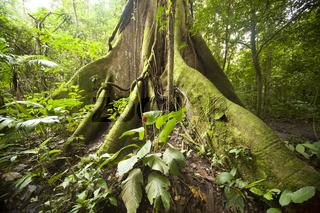 gewaltige Wurzeln eines Urwaldriesen im Regenwald des Nationalpark Vulkan Arenal beim Ort La Fortuna