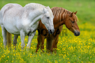 White and brown horse on field of yellow flowers
