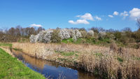 The riparian zone of the Tegeler Fließ and flowering sloe bushes in April