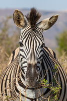 Zebra 17