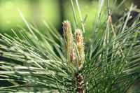 Young fresh pine shoots close-up.