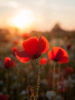 Amazing poppy field Summer flowers
