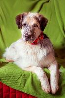 Funny portrait of big dog on the sofa