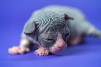 Canadian Sphynx kitten of blue, white color two weeks old lying with narrowed eyes. Blue background
