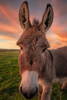 A Donkey Poses for the Camera at Sunset.
