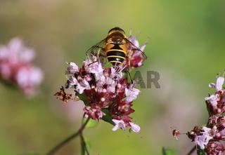 insekt auf oreganoblüte