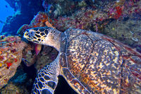 Hawksbill Sea Turtle, Bunaken National Marine Park, Indonesia