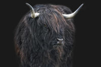 scottish highland cattle 7