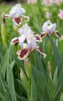German iris, Iris barbata-nana