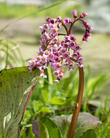 Bergenia crassifolia. Common names for the species include heart-leaved bergenia