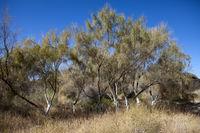 Haloxylon (saxaul) - genus of shrubs or small trees