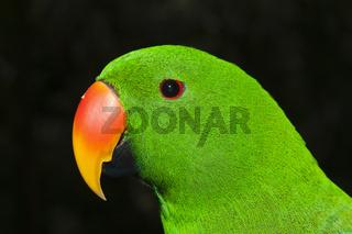 Edelpapagei, Papua Neuguinea