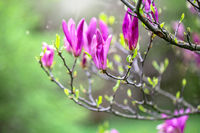 Branch of a blooming purple magnolia.