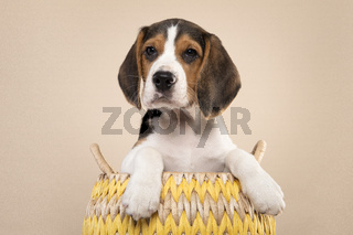 Cute beagle puppy in a basket looking at the camera on a cream colored background