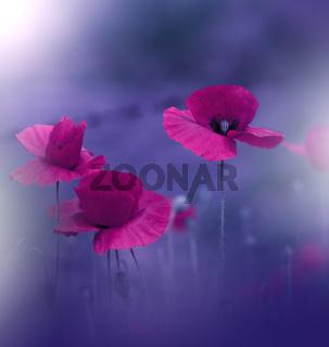 Beautiful Blue Nature Background.Macro Photo of Amazing Magic Red Poppy Flowers.Border Art Design.