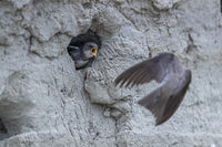 Sand Martin flies to breeding burrow and is awaited by a begging young bird / Riparia riparia