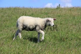 Ein Lamm läuft über einen Deich