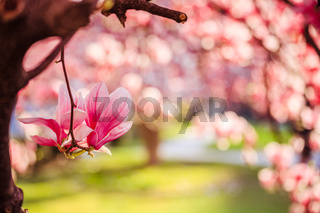 Springtime: Blooming tree with pink magnolia blossoms, beauty