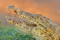 Portrait of a large Nile crocodile (Crocodylus niloticus) with open jaws