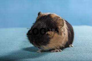 Glatthaar Meerschweinchen Baby