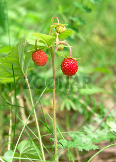 ripe wild strawberries