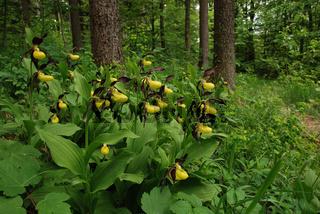 Frauenschuh - Orchidee