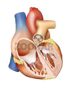 Herz Mensch Querschnitt