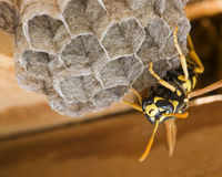 German Wasp is building a nest