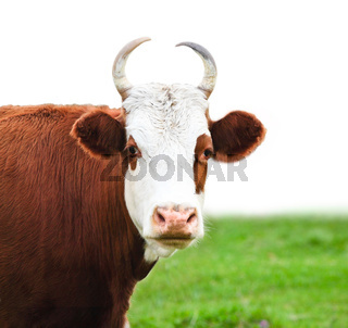 Close up portrait of the white and brown cow