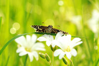 grizzled skipper on white flower 8