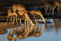 Impala antelopes (Aepyceros melampus) drinking water in late afternoon light