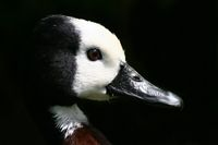Wild duck in portrait