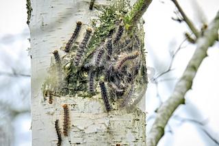 Raupen des Schwammspinners ( Lymantria dispar ).