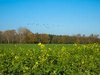 Rape and Geese near Teveren, Germany