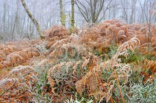 Farn mit Raureif im Wald an einem kalten Wintertag - Fern with hoarfrost in the forest on a cold winter day