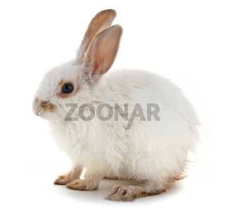 White small rabbit