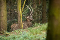 Red deer with big antlers standing in forest in autumn
