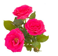 pink roses with bud
