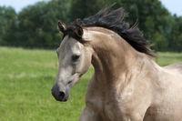 horse, quarter horse, portrait,