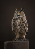 Eagle owl sitting on a tree trunk on a dark brown background