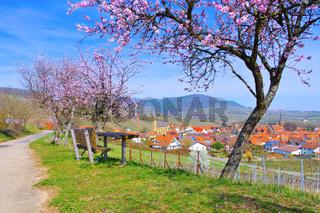 Birkweiler während der Mandelblüte im Frühling - landscape around Birkweiler during the almond blossom in spring , Germany