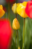 Tulip, tulip blossom,